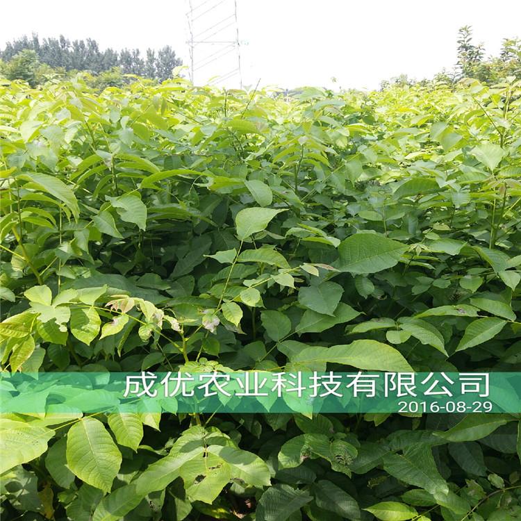 杏树苗价格,油杏树苗品种简介