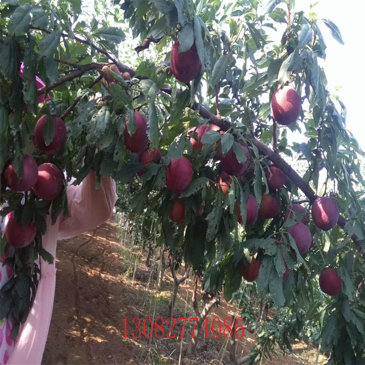 【新品种金果梨树苗、新品种金果梨树苗出售】-供应-黄页88网