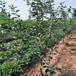 花椒批发基地,大红袍花椒种植效益