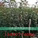 花椒批发基地,大红袍花椒苗价格