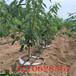 花椒批发基地,大红袍花椒树修剪