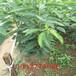 花椒批发基地,大红袍花椒种植