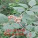 花椒批发基地,大红袍花椒树苗