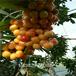 中秋王苹果苗多少钱一棵,1公分苹果苗出售