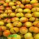 鲁丽苹果树苗,农户自家出售,1公分苹果树苗多钱