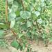 鲁丽苹果树苗,找果树苗苗圃,1公分苹果树供应商