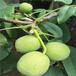 5公分早酥红梨树苗,最好的梨树品种