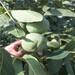 哪里有無花果廣西無花果樹苗價格
