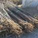 早红考密斯梨树苗,山东梨树苗基地