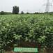 玉露香梨树苗价格,梨树苗品种