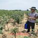 梨树苗什么品种好,求购梨树苗