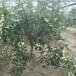 梨树苗种植时间,梨树苗种类