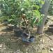 山东秋月梨基地,最好的梨树品种