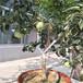 早酥红梨树苗,黄金梨树苗