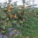 新梨7号梨树苗,哪里有梨树苗
