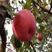 梨树苗品种价格,新品种梨树有哪些