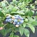 供应蓝莓苗,薄雾蓝莓苗