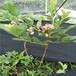北高丛蓝莓苗,适合北方蓝莓苗,薄雾蓝莓苗
