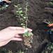 组培蓝莓苗,蓝莓苗基地电话,北高丛蓝莓苗