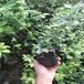 北高丛蓝莓苗,蓝莓苗基地电话,大量批发蓝莓苗哪有