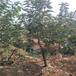 供应蓝莓苗,高产蓝莓苗简介,薄雾蓝莓苗