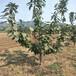 批发蓝莓苗蓝莓树苗价格多少,大量批发蓝莓苗哪有