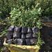 组培蓝莓苗,适合北方蓝莓苗,南高丛蓝莓苗