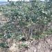供应蓝莓苗蓝莓树苗价格多少,适应北方蓝莓苗