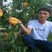 黄金蜜1号桃树苗,2019年桃树苗新品种,哪里有桃树苗