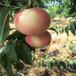 锦绣黄桃树苗,桃树苗怎么种,哪里可以好品种桃苗