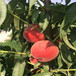 山东桃苗新品种,桃树苗新品种价格,黄桃那个好卖