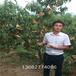 早熟桃树苗,最新品种桃树苗,山东桃树苗基地