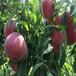 黑桃树苗,桃树苗多少钱一棵,哪里出售桃苗