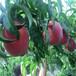桃树苗新优品种,桃树苗怎么种,哪里出售桃苗