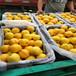 早熟桃树苗,桃树苗批发多少钱,黄桃那个好卖
