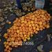大棚桃苗新品种,2019年桃树苗新品种,桃树苗那个好