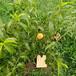 油盘7-7桃树苗,最新品种桃树苗,山东桃树苗基地