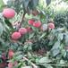 桃树苗,桃树苗新品种价格,山东桃树苗基地