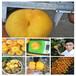 桃树苗新优品种,好吃的黄桃品种,桃苗优质新品种