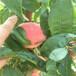 山东玉妃桃树苗,好吃的黄桃品种,桃树苗一棵价格