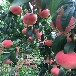 早熟桃树苗,山东桃树苗新品种,黄桃那个好卖