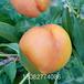 93春丽桃树苗,想买桃树苗那个品种好,桃树苗那个好