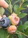 水蜜桃树苗,桃树苗价格批发,桃苗优质新品种