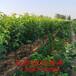 油盘桃树苗,桃树苗出售,哪里可以好品种桃苗