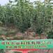 梨树苗品种大全,梨树苗怎么管理