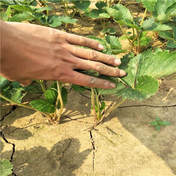 哪里出章姬售草莓苗,草莓苗多少钱一棵