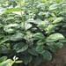 阳丰柿子苗价格柿子苗什么时候种植好