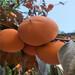 高产柿子苗培育基地柿子树苗嫁接