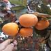 柿子苗批发那里有柿子苗什么时候种好