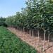 柿子苗一株多少钱新品种柿子树苗怎样载